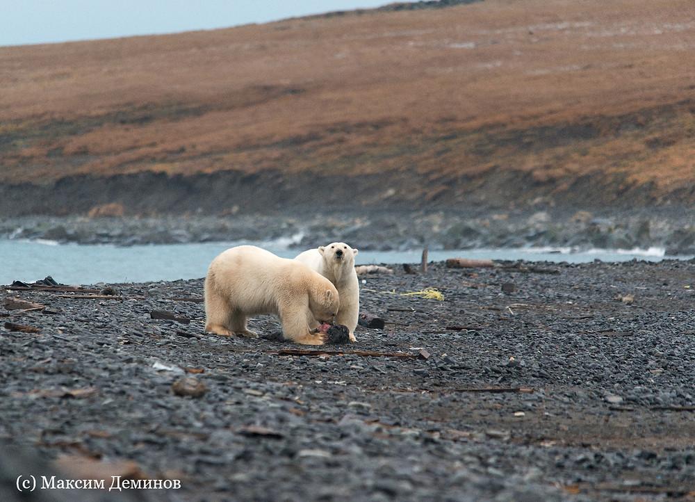 Белые медведи поедают останки моржей