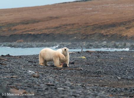Мыс Кожевникова – модельный участок решения природоохранных задач в Арктике