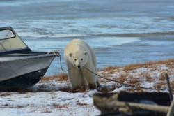 Белый медведь, Якутия