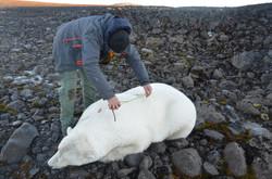 Работы с белым медведем