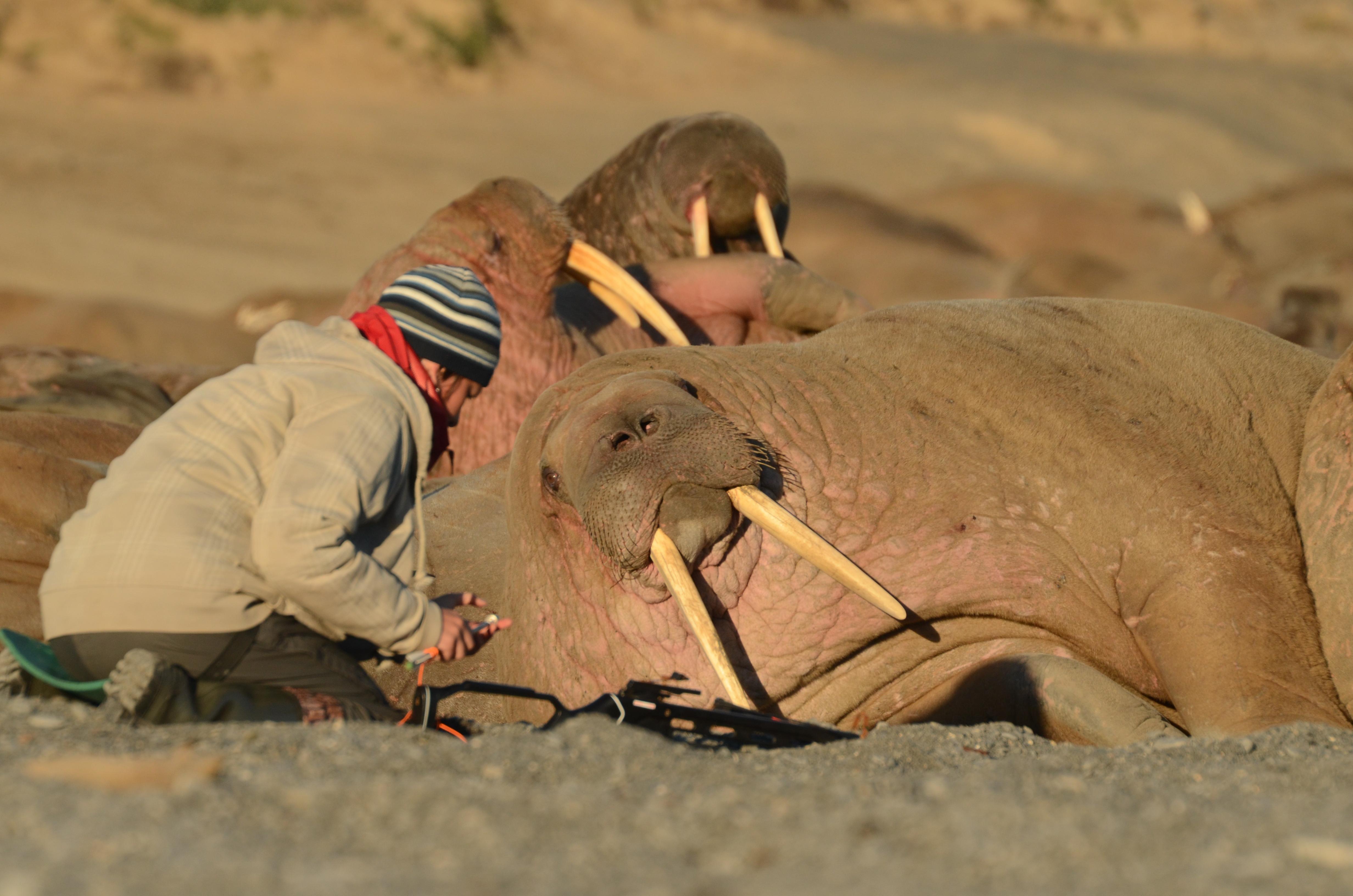 работы на лежбище моржей