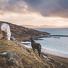 Eriskay ponies grazing on the Isle of Eriskay overlooking the Isle of Barra with incredible views