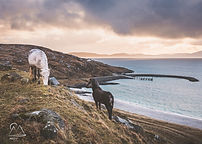 Eriskay Ponies grazing on the Isle of Er
