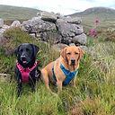 Bedlam & Delilah labrador dogs