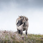 Shetland pony grazing on the Isle of South UIst