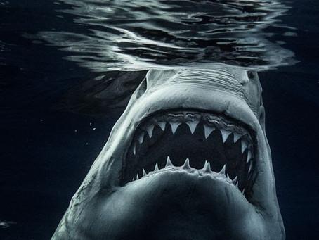 Il photographie les grands requins blancs