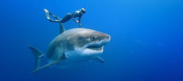 Envoy shark cull_edited.jpg