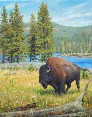 Yellowstone Buffalo Bull