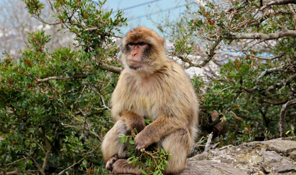 Mono del peñon