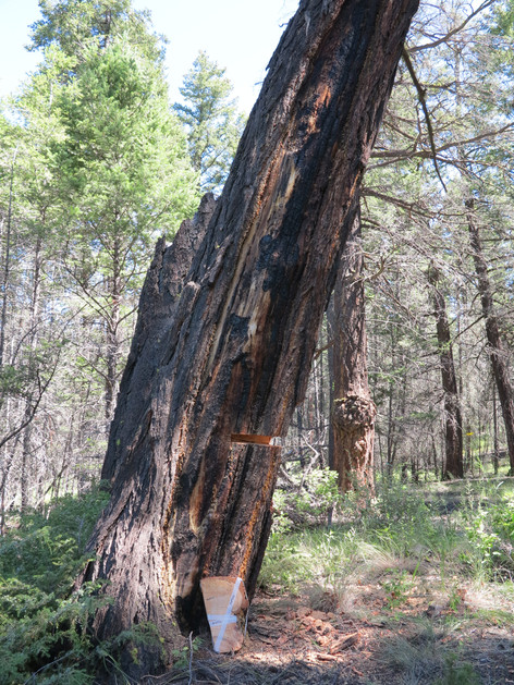 Preferentially sampling dead trees