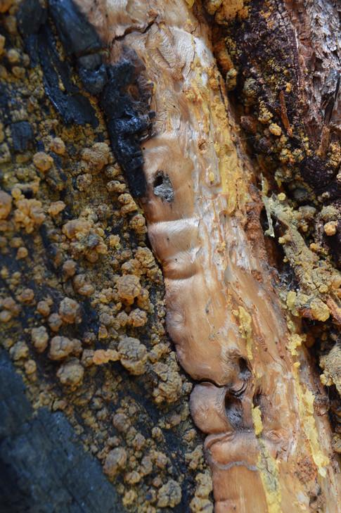 wound wood