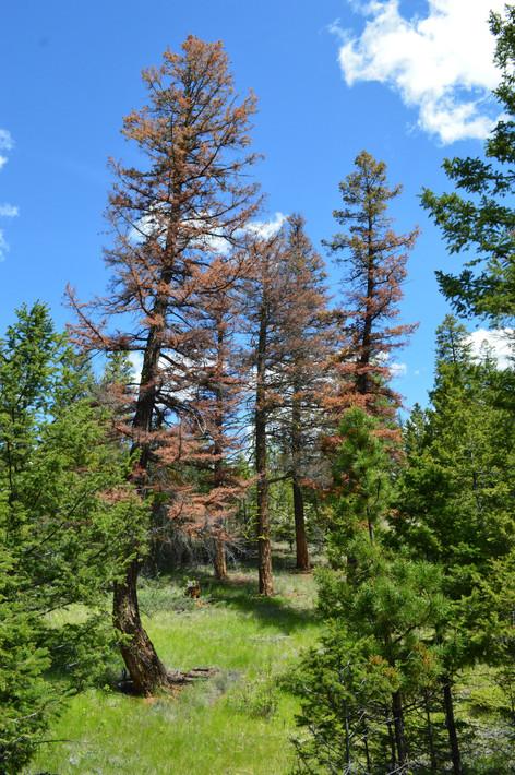 Douglas-fir bark beetle