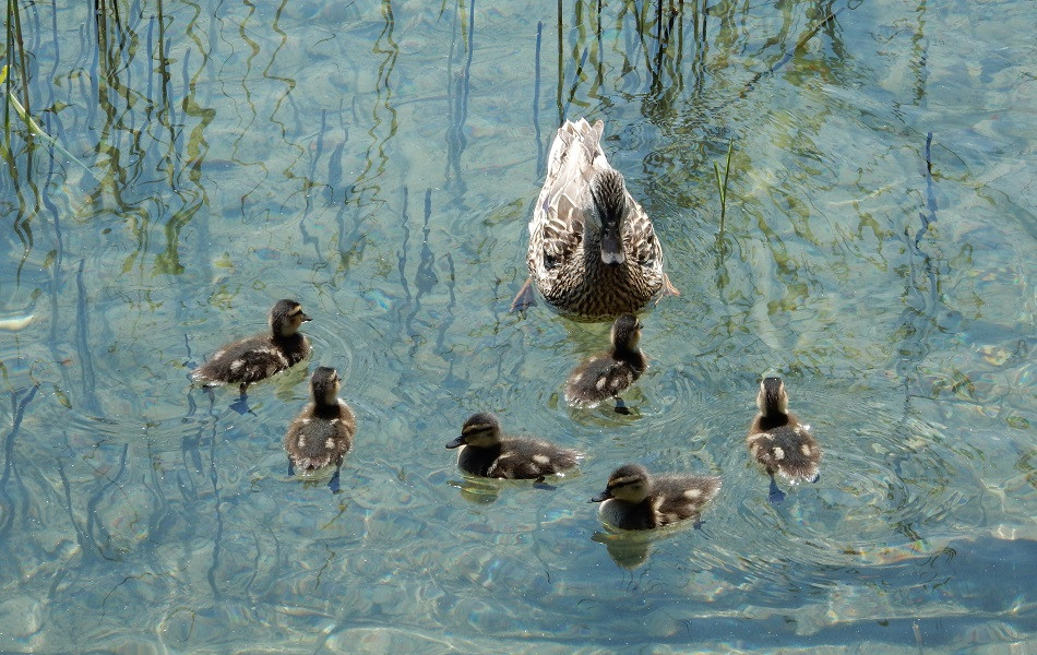 Entenfamilie am Weissensee