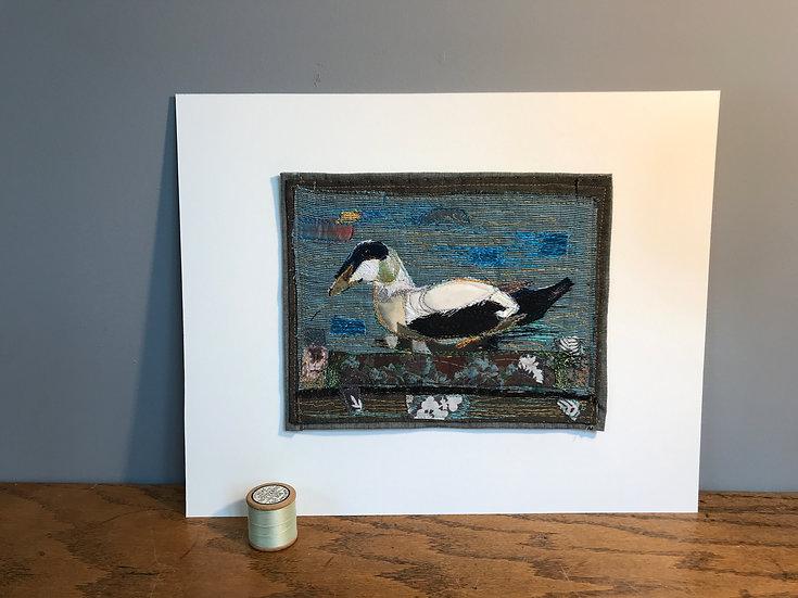 St. Cuthbert's (Eider) Duck