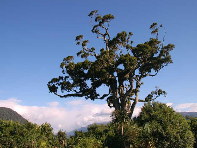 Totara tree on the West Coast NZ
