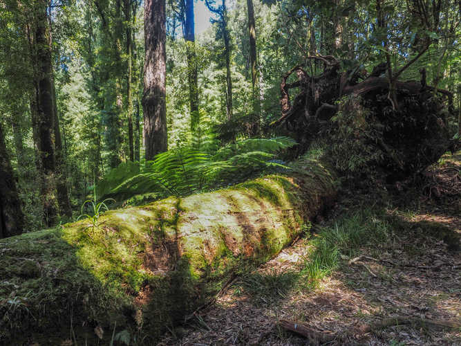 Fallen Totara tree, NZ