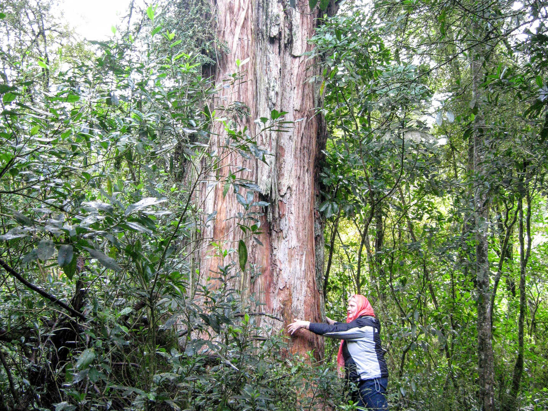 Totara tree compared to a person
