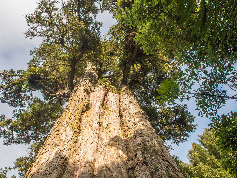Largest remaining Totara tree, NZ