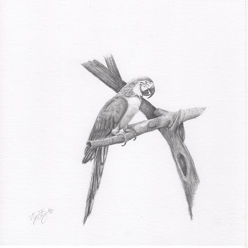"""""""Macaw"""" Print (10"""" x 10"""")"""