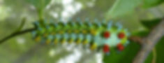 cecropiacaterpillar3_edited.jpg