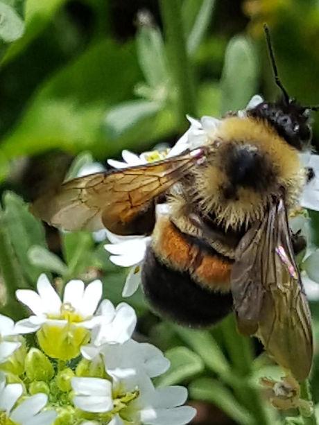 bumblebee3.jpg