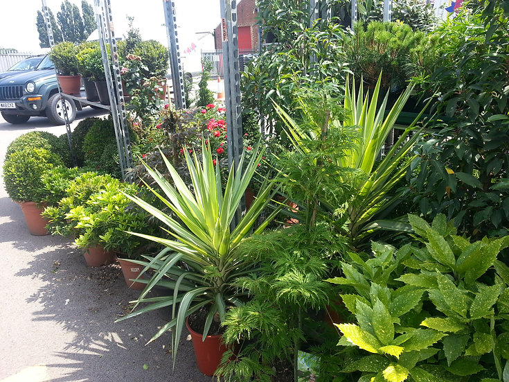 OUT DOOR PLANTS. CLICK TO SEE DETAILS.