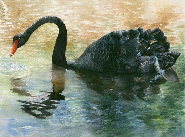 Black swan, Menorca.