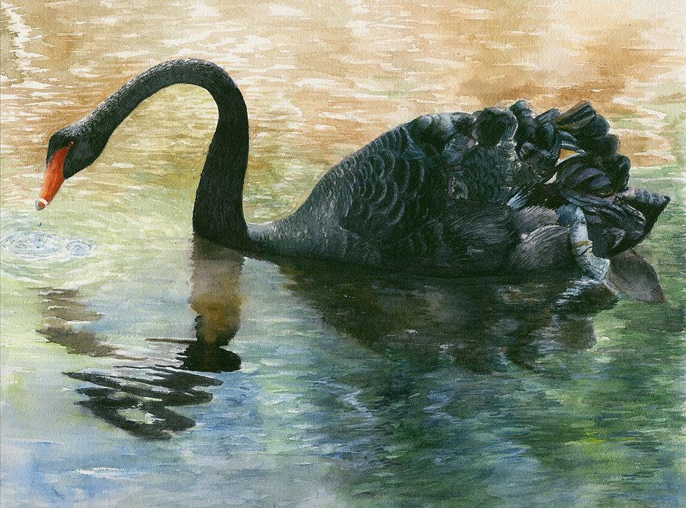 black swan menorca copywix.jpg