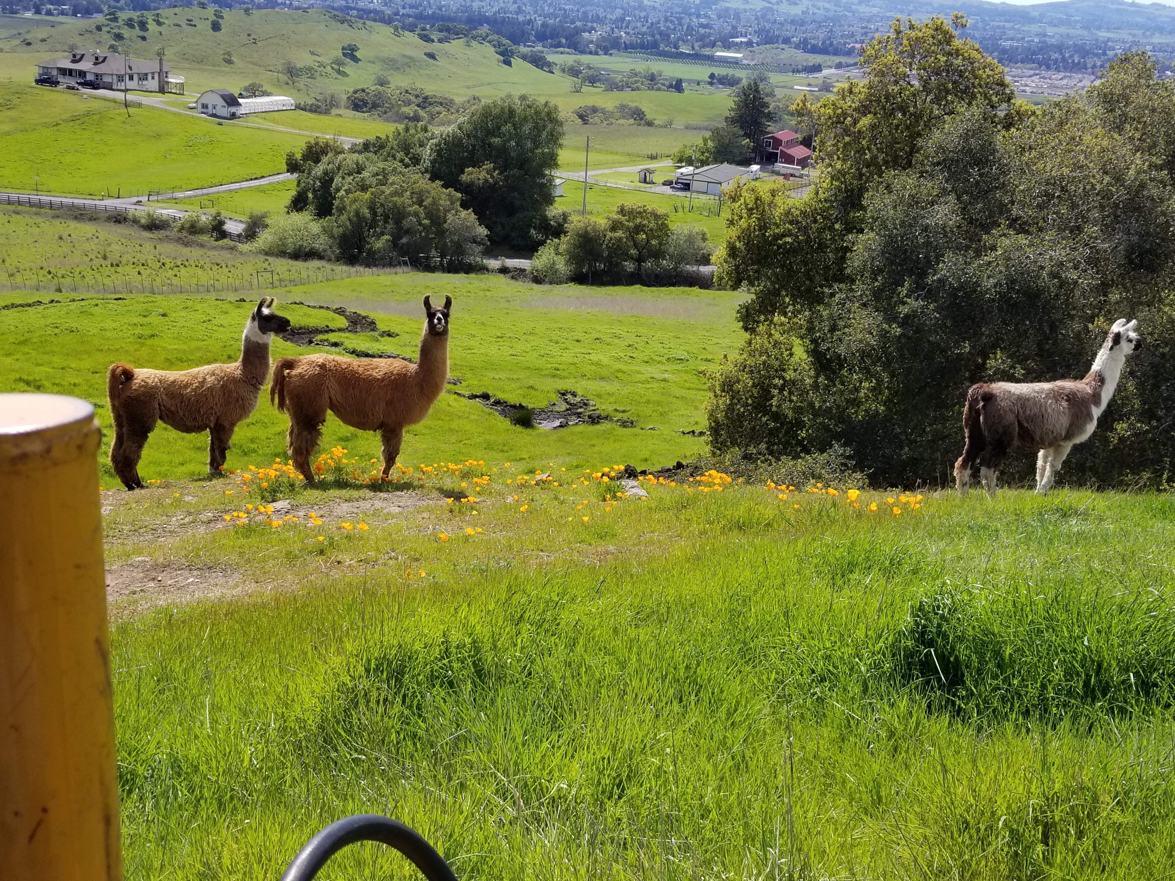 Wildlife - Llamas - Santa Rosa, CA