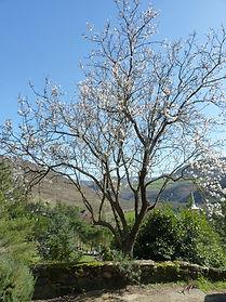 L'arbre de la Virginité