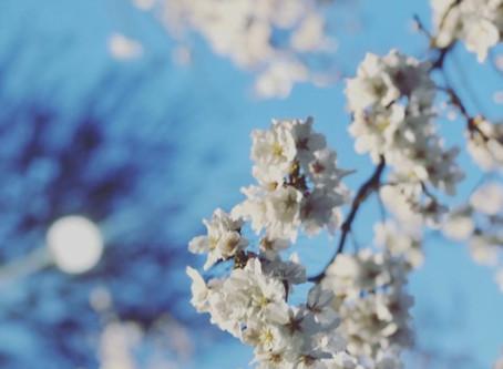 もうすぐ桜も散ってゆきます
