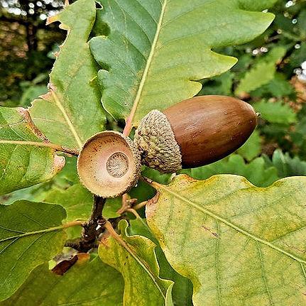 Oak with acorns Pixbay Free.jpg