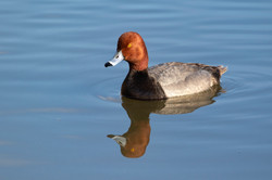 Red-headed duck portrait