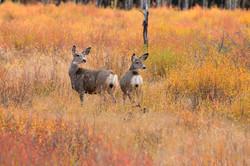 Mule deer in fall