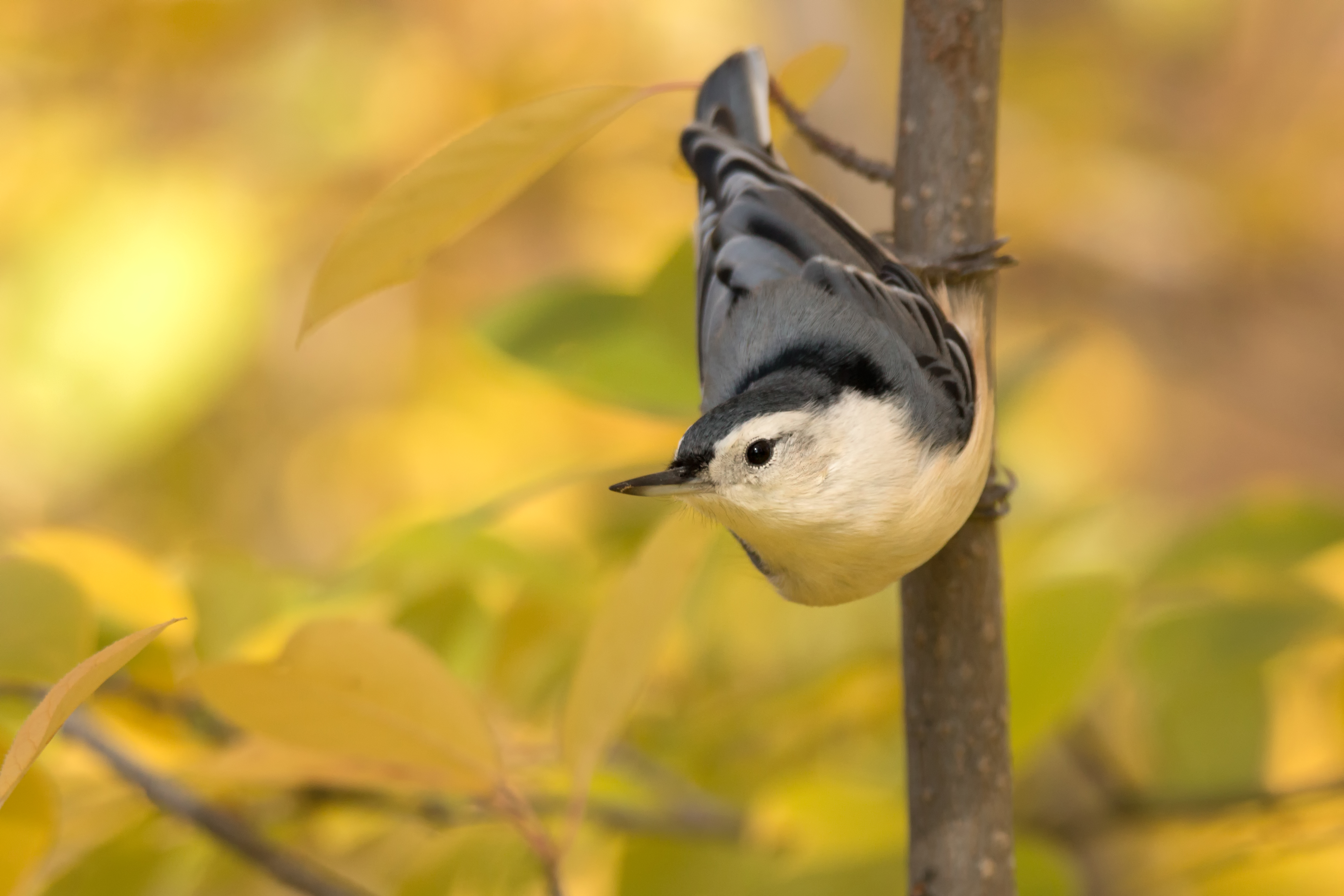 Nuthatch in Fall