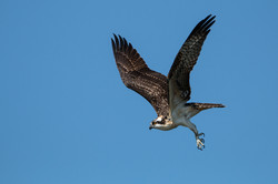 Osprey departure