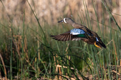 Blue-Winged Teal Take off