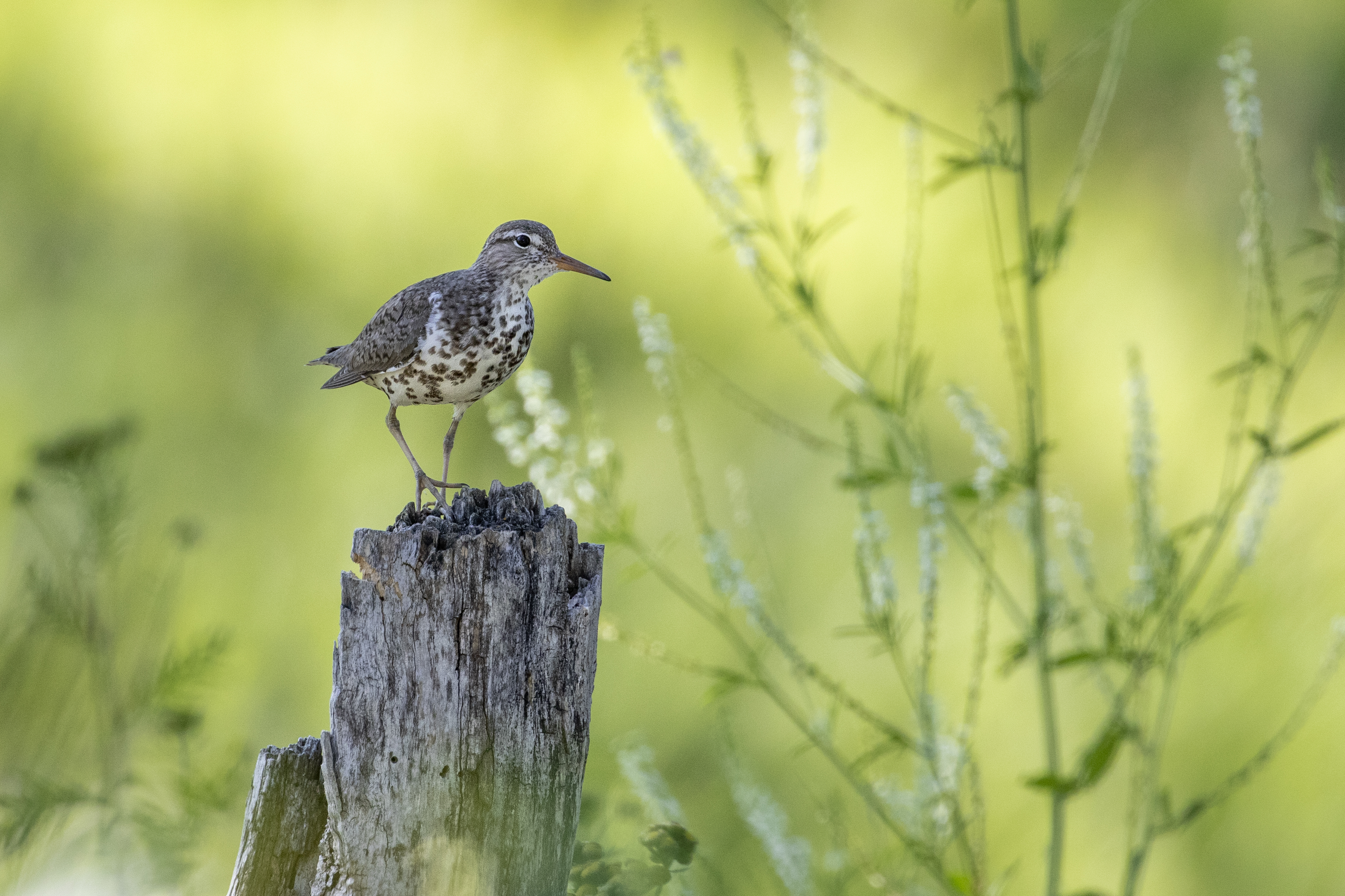 Spotted Sandpiper3