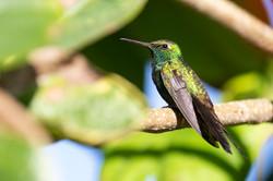 Cuban Emerald Hummingbird 1