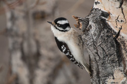Female Downey Woodpecker