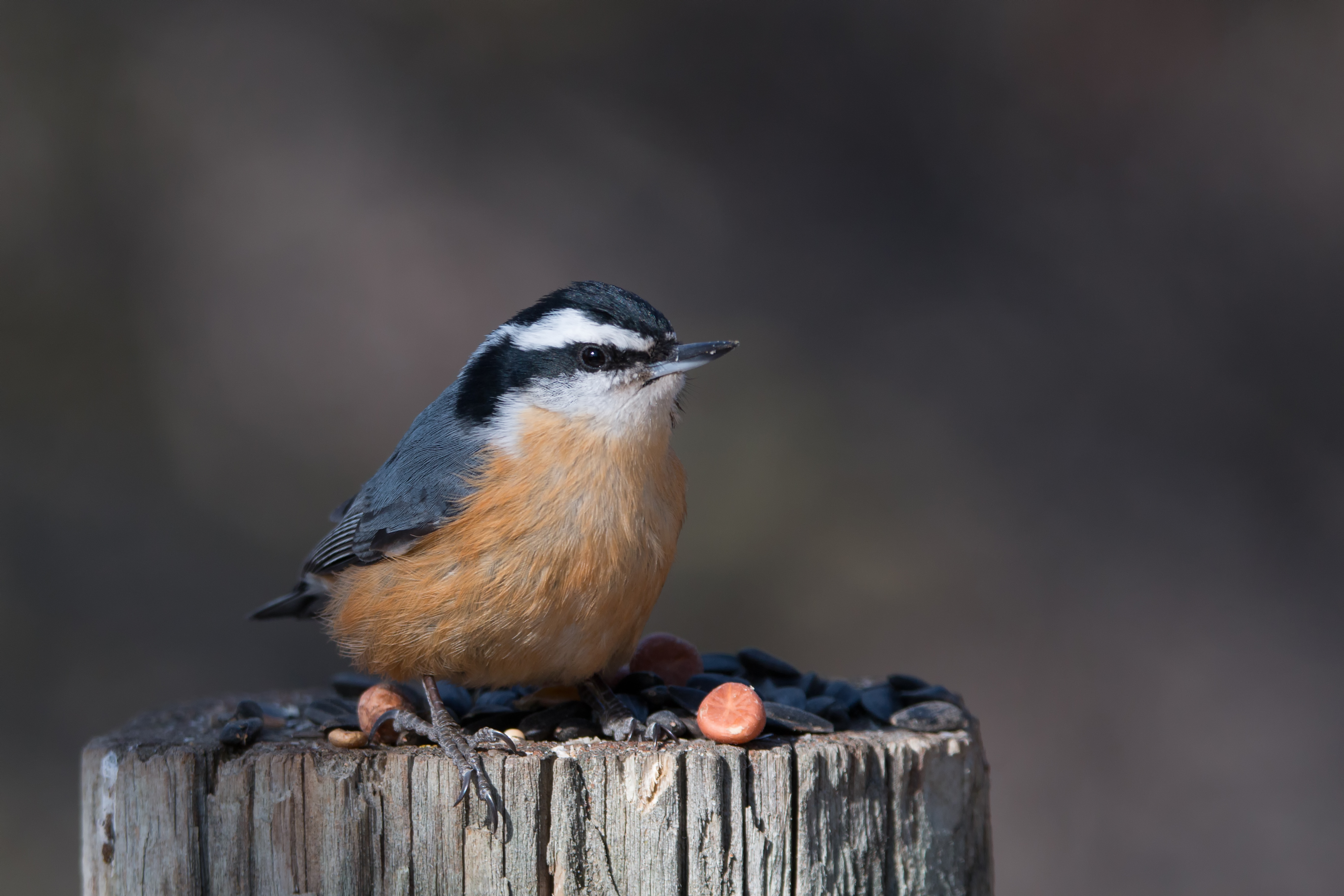 Red-Breasted Nuthatch Male