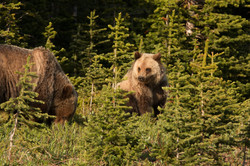Grizzly Cub with mama