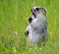 Hoary Marmot with snack