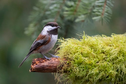 Chestnut-backed Chickadee2