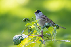 Golden-crowned sparrow 1
