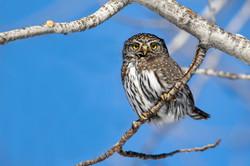Northern Pygamy Owl