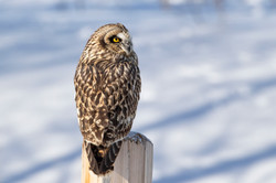 Short Eared Owl Close-up