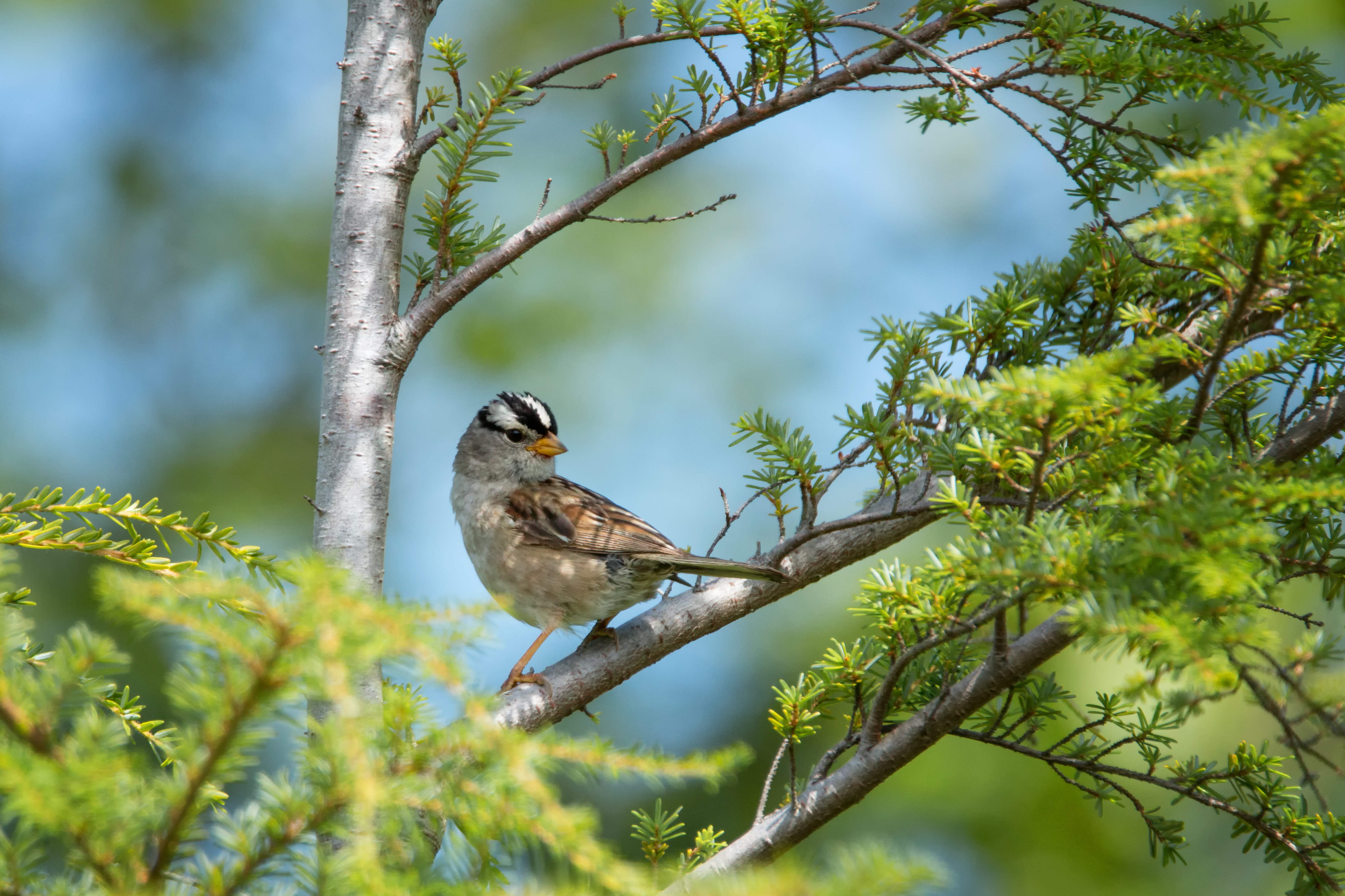 Crowned Sparrow