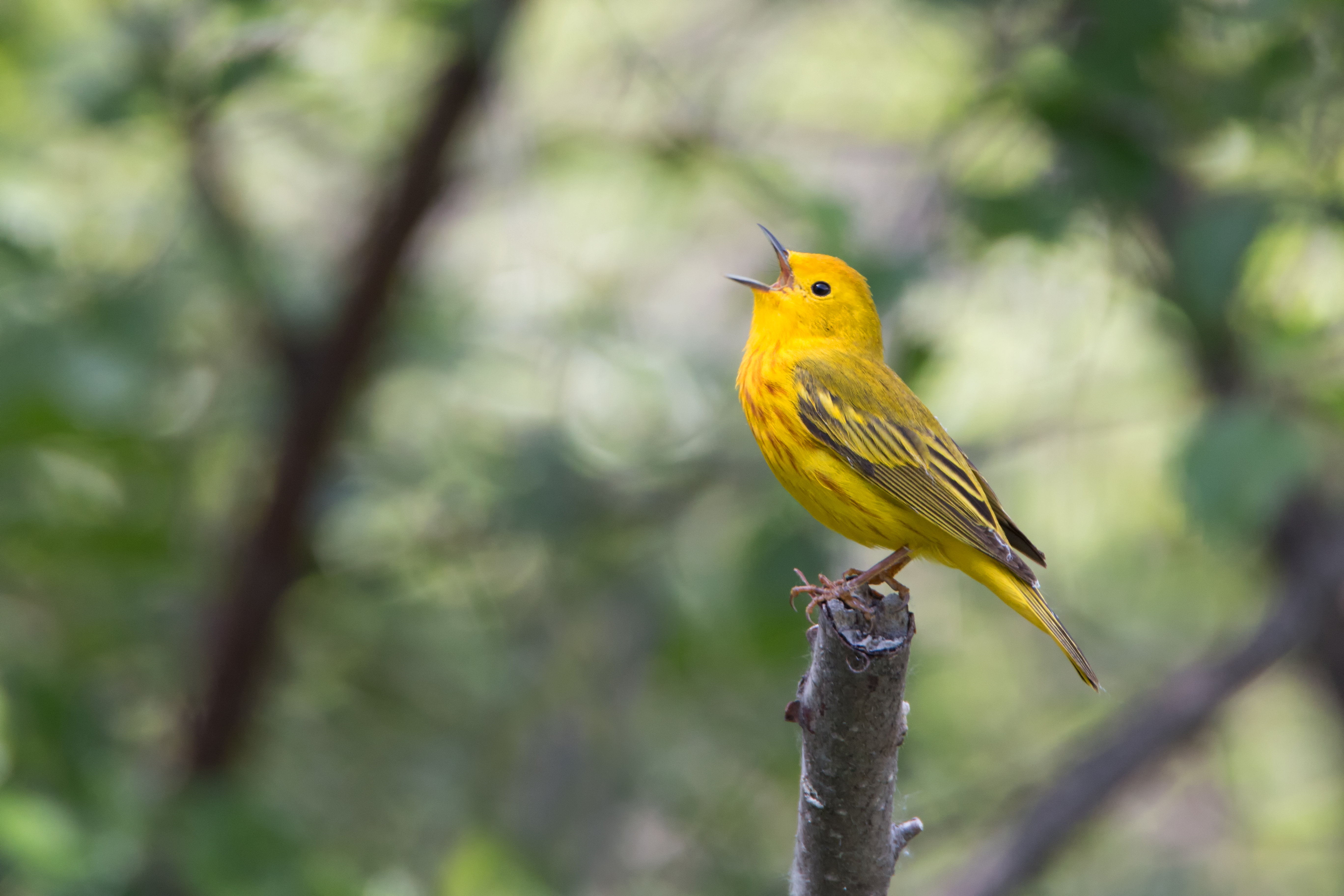 Yellow Warbler in song