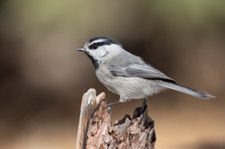 Mountain Chickadee Portrait